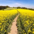 Field of rapeseed (brassica napus) with rural road — Stock Photo #72652375