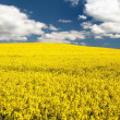 Field of rapeseed - brassica napus — Stock Photo #72655051