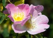 Beautiful pink and yellow flower of dog-rose — Stock Photo