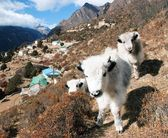 Young yaks and Portse village - way to Everest base camp — Stock Photo