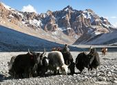 Group of yaks in the great himalayan mountains — Stock Photo