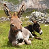 Group of Donkey on mountain in Italien Dolomites — Stock Photo