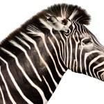 Male zebra head isolated on white background — Stock Photo #51811653