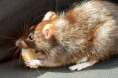 Rat eating cake — Stock fotografie