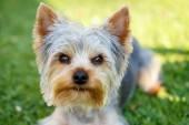 Ładny mały yorkshire terrier — Zdjęcie stockowe