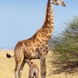 Adult female giraffe with calf suckling breast milk — Stock Photo #57716357