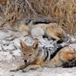 Two black-backed jackal (Canis mesomelas) lying in Etosha park — Stock Photo #57716385