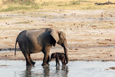 African elephants with baby elephant drinking at waterhole — Stock Photo