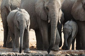 A herd of African elephants drinking at a muddy waterhole — Stock Photo