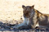 Female Lion Lying in Grass in shade of tree. — Stock Photo