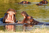 Two fighting young male hippopotamus Hippopotamus — Stock Photo