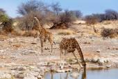 Giraffa camelopardalis drinking from waterhole in Etosha national Park — Stock Photo