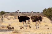 Family of Ostrich with chickens, Struthio camelus, in Namibia — Stock Photo