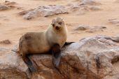 Small sea lion - Brown fur seal in Cape Cross, Namibia — Foto de Stock