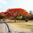 Delonix Regia (Flamboyant) tree with blue sky. — Stockfoto #58269257