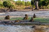 Family of Chacma Baboon — Stock Photo