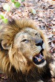 Portrait of Lion with open mouth shoving big teeth.  — Stock Photo