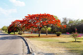 Delonix Regia (Flamboyant) tree with blue sky. — Stock Photo
