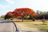 Delonix Regia (Flamboyant) tree with blue sky. — Stock Photo