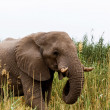African Elephant in Etosha national Park — Stock Photo #58346889