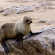 Small sea lion - Brown fur seal in Cape Cross, Namibia — Stock Photo #58347023