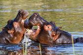 Two fighting young male hippopotamus Hippopotamus — Stock Photo