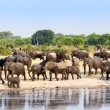 A herd of African elephants drinking at a muddy waterhole — Stock Photo #59578531