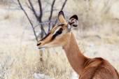 Portrait of Impala antelope — Zdjęcie stockowe