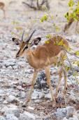 Portrait of Impala antelope — Stock Photo