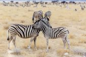 Zebra foal with mother in african bush — Stock fotografie
