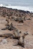 Gran colonia de marrón foca - leones marinos en Namibia — Foto de Stock