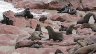Huge colony of Brown fur seal - sea lions in Namibia — Stock Video