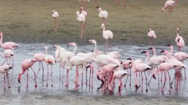 Rosy Flamingo colony in Walvis Bay Namibia — Video Stock
