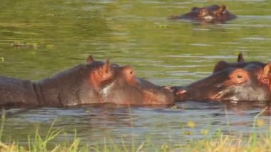 Two fighting young male hippopotamus Hippopotamus — Stock Video