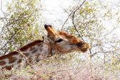 Giraffa camelopardalis grazing on tree — Stockfoto