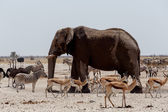 Animal trafic on muddy waterhole in Etosha — Stok fotoğraf