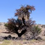 African masked weaver big nest on tree — Stock Photo #62044129