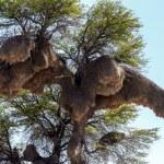 African sociable weaver big nest on tree — Stock Photo #62044343