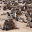 Huge colony of Brown fur seal - sea lions in Namibia — Stock Photo #62044527