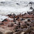 Huge colony of Brown fur seal - sea lions in Namibia — Stock Photo #62044543