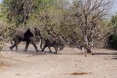 African Elephant in Chobe National Park — Zdjęcie stockowe
