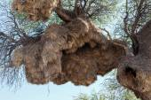 African sociable weaver big nest on tree — Stock Photo