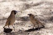 Sociable Weaver Bird at Kgalagadi — Stock Photo