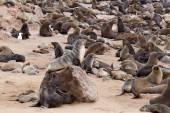 茶色のオットセイ - ナミビアのアシカの巨大なコロニー — ストック写真