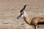 Portrait of Springbok gazella in kgalagadi, South Africa — Stock Photo