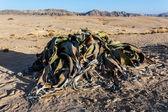 Welwitschia mirabilis, Amazing desert plant, living fossil — Foto de Stock