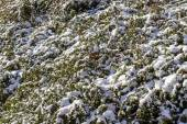 Winter background with red gaultheria and snow — Stock Photo