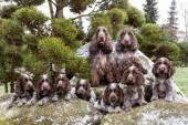 Portrait of champions of English Cocker Spaniel family — Stock Photo
