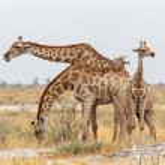 Adult female giraffe with calf grazzing — Stock Photo #68686207