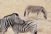 Burchell's zebra with foal, Equus quagga burchellii. — Stock Photo